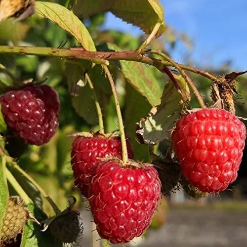 Müllerst Grüner Garten Shop Autumn Bliss herbsttragende große aromatische Himbeere resistent gegen Wurzelfäule 2 Liter Topf
