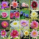 PinkdoseHydroponische Blumen kleine Seerose Samen Mini Lotus Samen Bonsai Samen Set Hydrophyte - 30 Stück Samen