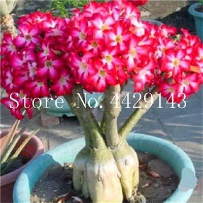 Pinkdose 100% vero deserto rosa dei bonsai piante ornamentali balcone bonsai fiori in vaso drawf adenium obesum bonsai -1 particelle/lotto: 7