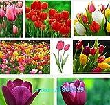 Fash Lady Rouge: Vente chaude 100pcs bulbes de tulipes, graines de tulipes boule Bonsaï pot de fleur pot mÃlange couleurs Couleurs bricolage jardin rouge