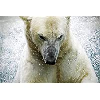 PB Polarbear At The Augsburger Zoo Germany Peel & Stick Vinyl Wall Sticker 29.9 x 20inch
