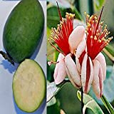 Portal Cool Feijoa sellowiana Acca Ananas Guave Goyave Ananas Guave Strauch Essbare 20 Samen