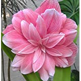 Primrose Gardens Rare Double Dream Amaryllis Double Large Pink Colored Lilly Bulb 1 Pcs