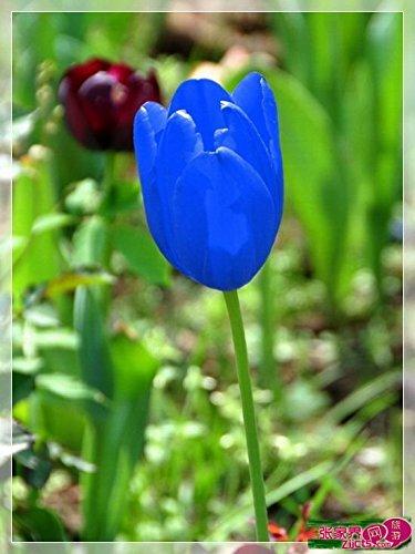 Toutes sortes de bulbes de tulipes belles fleurs de jardin sont appropriés pour les plantes en pot (il n'est pas une graine de tulipe) ampoules 2PC 21