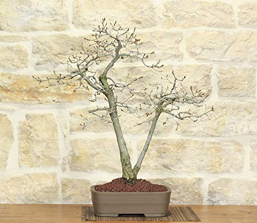 bonsai di quercia roverella (2)