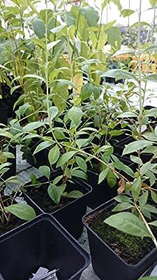 Kräuterey : Henna - Lawsonia inermis - Pflanze - Bioland von Kräuterey auf Du und dein Garten