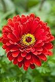 Creative Farmer Flower Seeds : Elegant Zinnia Flower Seeds For Garden - Kitchen Garden Pack