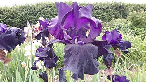 Portal Cool Iris barbudo alto - Dragón Negro - Negro Schreiner Iris - The Manic Botanic