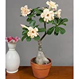 #8: Desert Rose Adenium Live Plant Yellow Color (GRAFTED - LIVE PLANT) - BEE Garden Organic