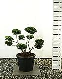 Formgehölz Japanische Stechpalme - Ilex Crenata Stokes - verschiedene Ausführungen (80-100cm - Topf Ø 36cm -20Ltr. - MULTIBALL)