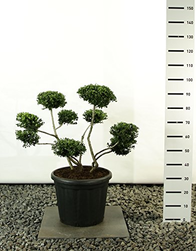garten bonsai Formgehölz Japanische Stechpalme - Ilex Crenata Stokes - verschiedene Ausführungen (80-100cm - Topf Ø 36cm -20Ltr. - MULTIBALL)