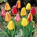 Darwin Hybrid Tulpenmischung von Meingartenshop bei Du und dein Garten