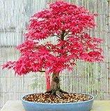 Portal Cool 10 Stücke Rot Japanischer Ahorn Palmatum Atropurpureum Pflanze Baum Samen Garten Decor A