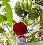 Zwergbanane - Musa acuminata - Samen