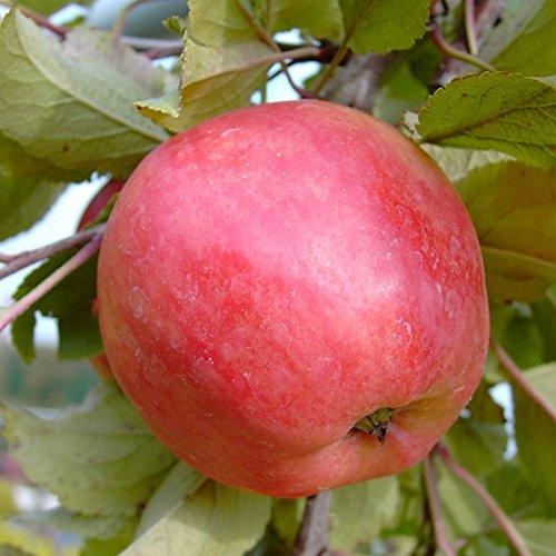 Apfelbaum Piros (S) robuster Sommerapfel aromatisch Buschbaum ca. 120-150 cm 9,5 Liter Topf M 26