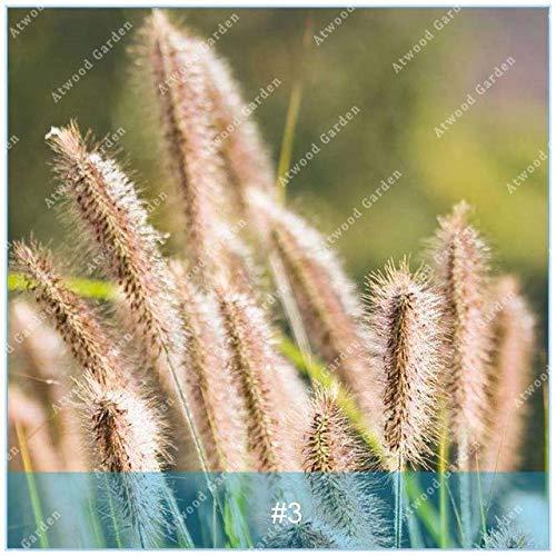Shopmeeko SEEDS: ZLKING 100PCS Pennisetum Gras Bonsaipflanzen für Hausgarten-Naturrasenteppich schnell wachsende Pflanze: 3 -