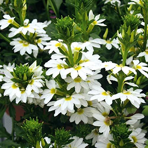 Volmary Fächerblume \'Abanico White\' | Bienenfreundliche Blume | für Kübel und Ampeln | 1 Pflanze