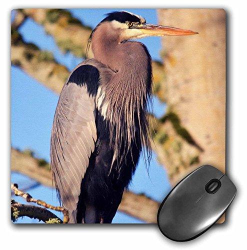 Danita Delimont - Birds - Great Blue Heron, Commonwealth Lake Park, Beaverton, Oregon, USA. - MousePad (mp_209854_1)