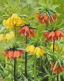5 Kaiserkronen gemischt Fritillaria Imperialis Blumenzwiebeln