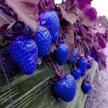 Keland Garten - 100 Großfrüchtige zuckersüssErdbeere Samen Mischung 6 Sorten für Garten und Balkon (Blau)