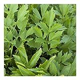 Liebstöckel - Levisticum officinale (100 Samen)