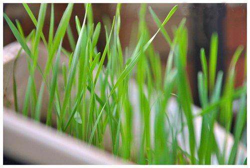 5 Paquete 1000 de semillas Las semillas de la hierba del gato para su gato Semilla Domésticos Alimentos para mascotas Hierba L001