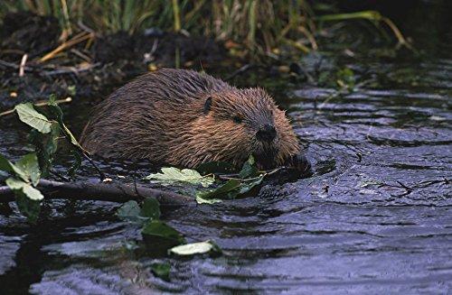 beaver-37x24-inch-92x60-cm-silk-poster-pj16-ecbc