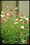 Metal Sign English Country Gardens Uk Gb 131010 Annual Poppies A4 12x8 Aluminium