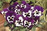 Amazon - Fiore - Viola del Pensiero - Matrice Viola e Bianco F1 - 75 Semi - Confezione Grande