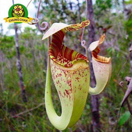 Manger moustiques Plantes carnivores Graines Nepenthes 200pcs / sac Pitcher Tropical Plante Catch Jardin des insectes Bonsai 13 Easy Grow Potted