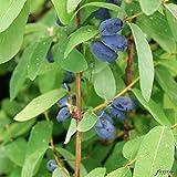 Lonicera - Sibirische Blaubeere 'MyBerry Sweet' Honigbeere Kamtschatka-Heckenkirsche 1 Pflanze im Container von Garten Schlüter - Pflanzen in Top Qualität