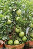 Dwarf White Indonesian Seedless Guava Psidium guajava 1 Healthy Live Plant