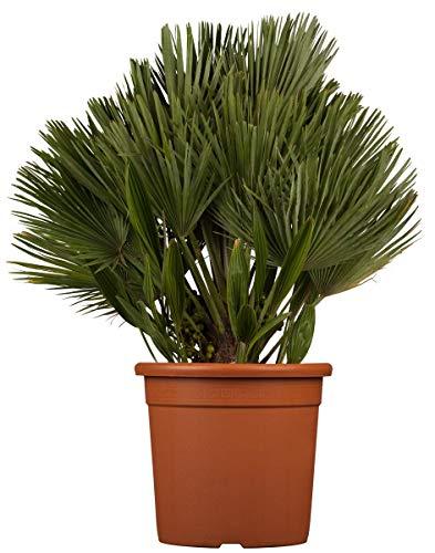 Zwergpalme 'Compacta' - starke Pflanze im 5 L Topf