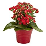 #9: kalanchoe red double flower live plant