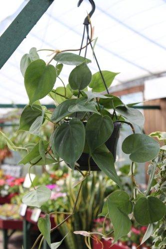 Zimmerpflanze - Philodendron scandens - Baumfreund - in einem 15cm hängenden Topf und ca. 50cm lang (Hängende Zimmerpflanzen)