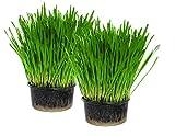 Cat Grass Kit x 2