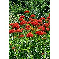 Fash Lady Cruz de Malta, Lychnis Chalcedonica, Red Flower, 1600 Seeds!Â
