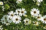 weiße Gänseblümchen 50 samen, Zwerg Margerite, (Brachycome White)