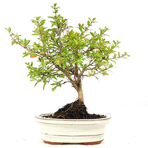 Bonsai, Granatapfel, Punica granatum, 7 Jahre, Höhe 20 cm