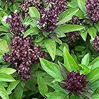 Fash Lady SIAM Queen Basil Seeds Sweet & Spicy Vigorous Planta 100 Count PKT