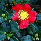 "Portal Cool Camellia Sasanqua Yuletide - Autunno Camelia, pianta in un 3.5"" Pot"