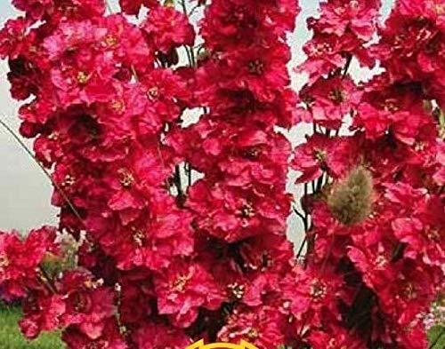 "Portal Cool Bio-Blumensamen Rittersporn""Red King"" (Delphinium Cultorum) - 100 Samen"
