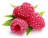 Himbeere Rot/ca. 50 Samen/Rubus idaeus/frosthart / mehrjährig