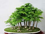 #7: Floral Treasure Bonsai Suitable Dawn Redwood Forest Seeds - Pack of 10