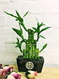 1Lucky Bambus in zufällige Farbe Keramik Topf [3Stufe stepstairs]