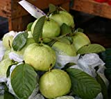 #3: GIANT THAILAND GUAVA FRUIT SEEDS (Pack of 50) - BEE Garden Organic