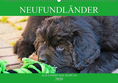 Neufundländer - Alle fangen mal klein an (Wandkalender 2020 DIN A2 quer): Lassen Sie sich von entzückenden Neufundländer-Welpen verzaubern (Monatskalender, 14 Seiten ) (CALVENDO Tiere)