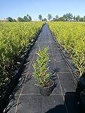 Thuja occidentalis Smaragd - SMARAGD LEBENSBAUM