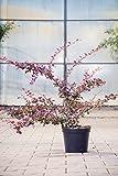 Große Blutberberitze Superba 40-60 cm Strauch für Sonne-Halbschatten Heckenpflanze dunkelrot, rotes Laub Gartenpflanze winterhart 1 Pflanze im Topf