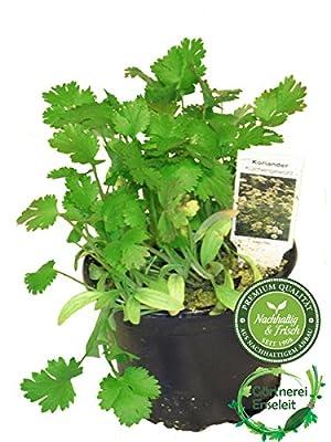 Koriander Coriandrum sativum, frische Kräuter Pflanze von Weseler Kräuterparadies - Du und dein Garten